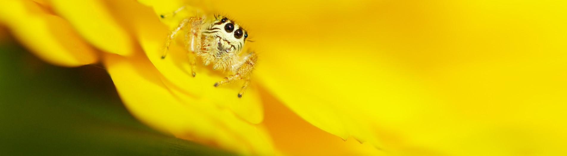 L'araignée sauteuse (ou Saltique)