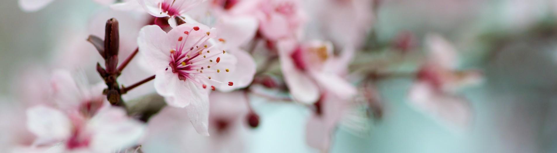 Ambiance printanière - Prunus Pissardii -